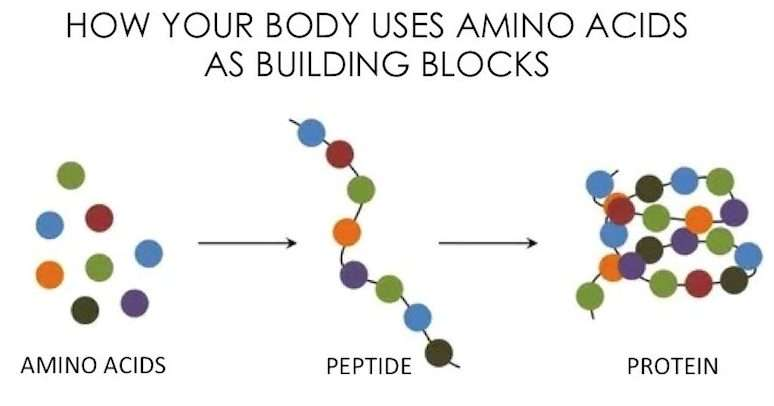 how our body uses amino acids